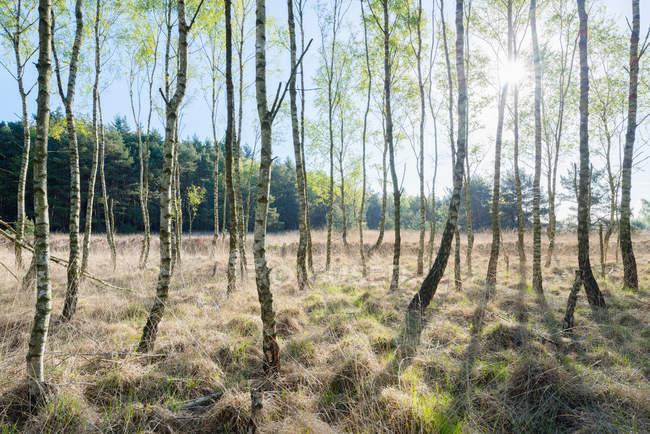 Birch trees in spring morning — Stock Photo