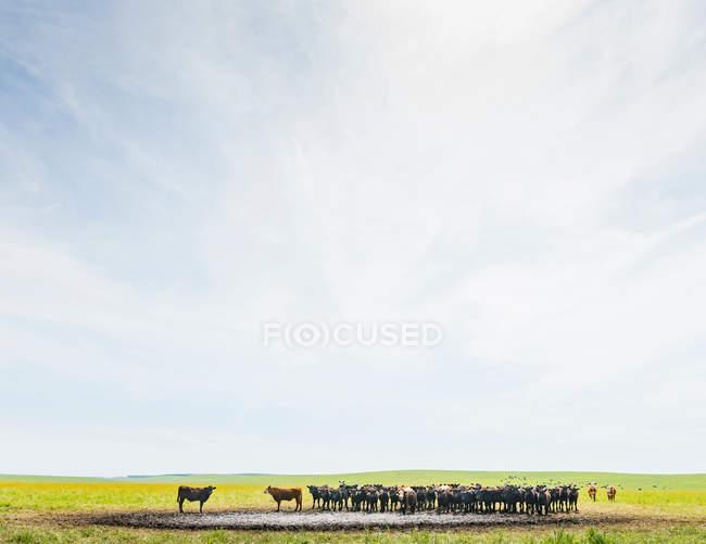Mandria di vacche a abbeveratoio — Foto stock