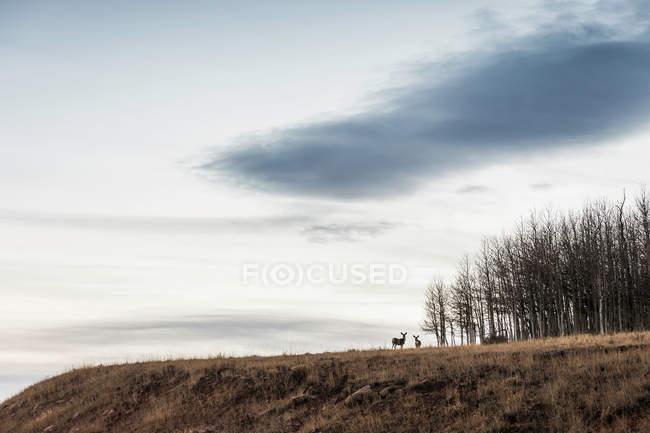 Мальовничим видом з оленів на схилі — стокове фото