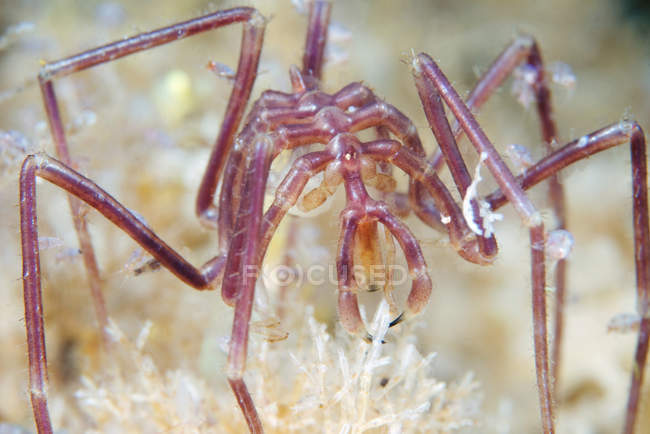 Nymphon grossipes sea spider — Stock Photo