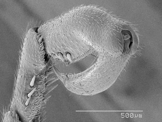 Tarscus mosca colgante con regla de escala - foto de stock