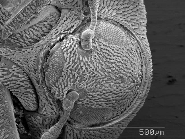 Vista magnificada de la cabeza de escarabajo escamosa - foto de stock