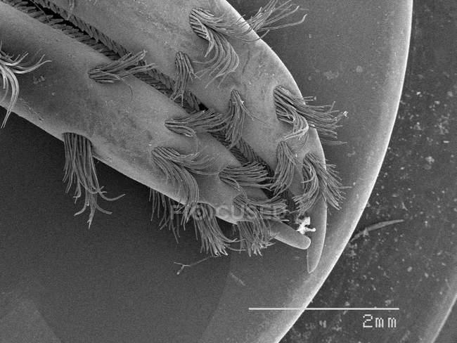 Vista magnificada de la garra de cangrejo - foto de stock