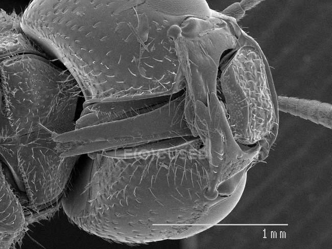 Vista magnificada de la abeja minera - foto de stock