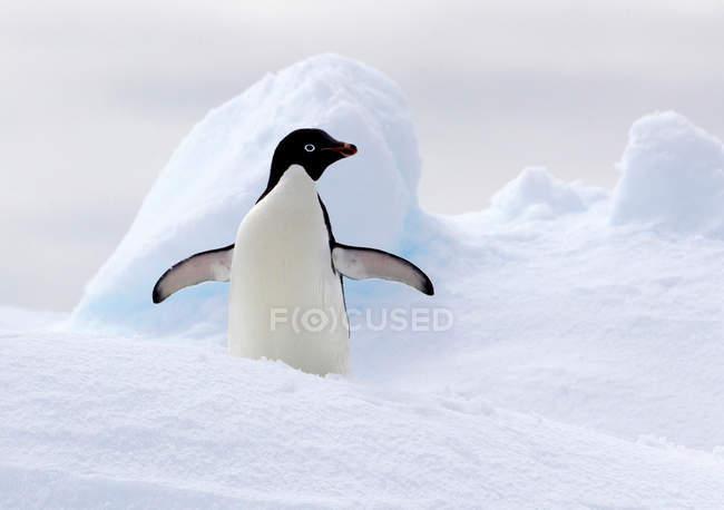 Penguin standing on ice floe — Stock Photo