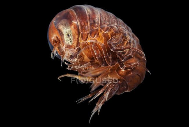 Amphipode Hyperia galba sur fond noir — Photo de stock