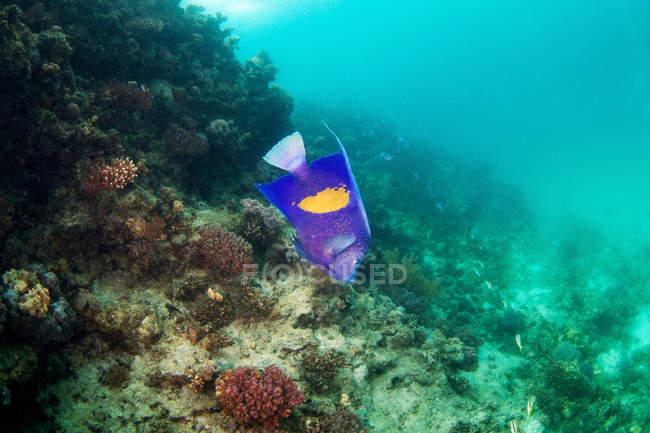 Pez ángel flotando bajo el agua - foto de stock