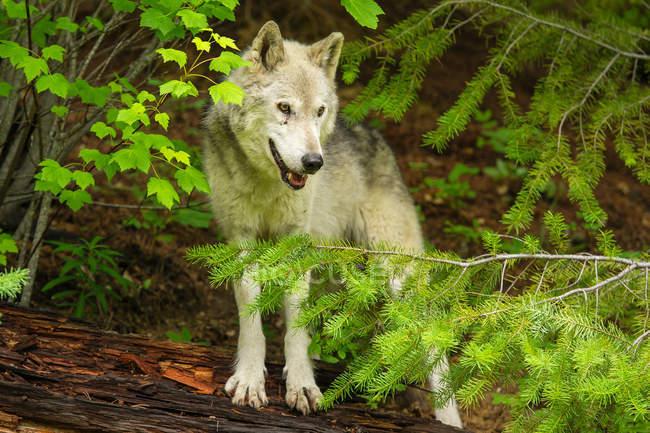 Серый волк стоя на дерево — стоковое фото