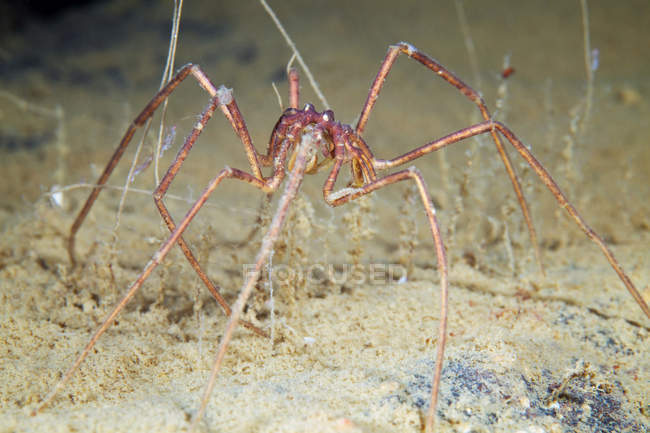 Nymphon sea spider on sandy seabed — Stock Photo