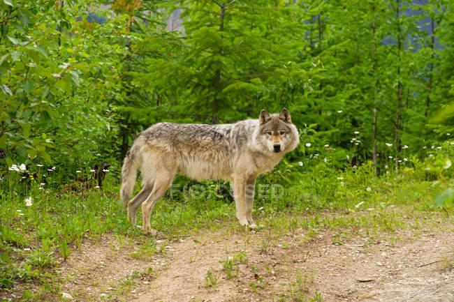 Серый волк стоя в зелени — стоковое фото