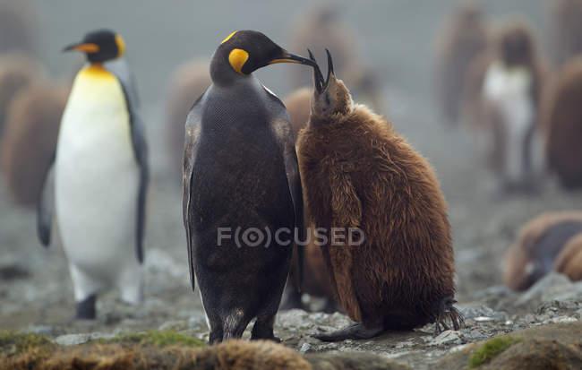 Königspinguin mit Küken — Stockfoto