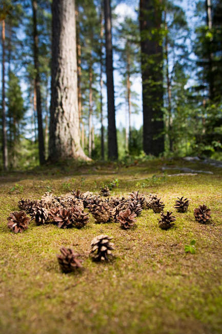 Close up of pine cones on forest floor — Stock Photo
