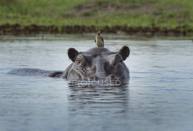 Hippo looking out of water with oxpecker bird on head — Stock Photo