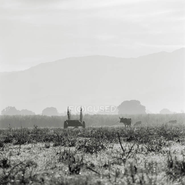 Bétail sur les terres agricoles — Photo de stock