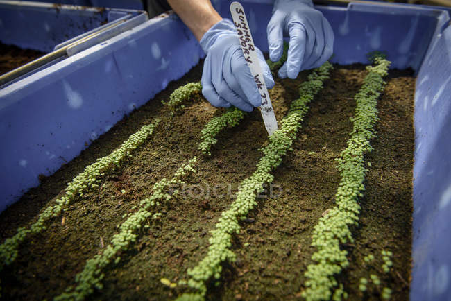 Worker using plant label to identitfy seedlings — Stock Photo