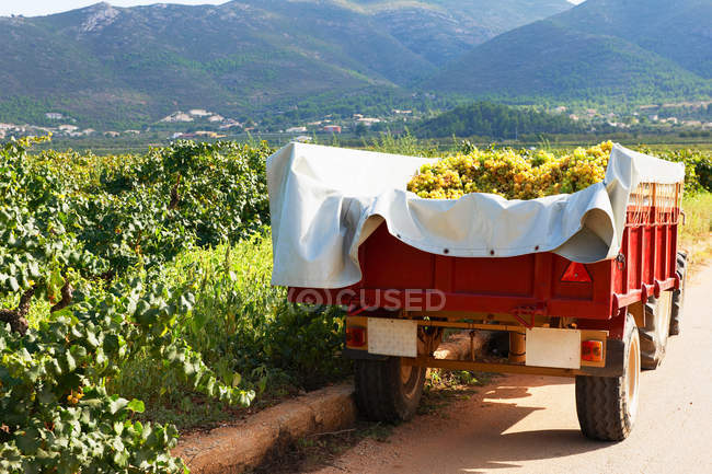 Tractor and trailer full of harvested grapes — Stock Photo