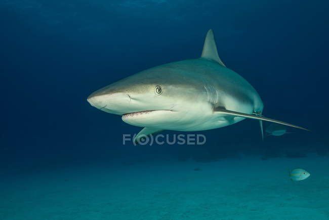 Reef shark above seabed — Stock Photo