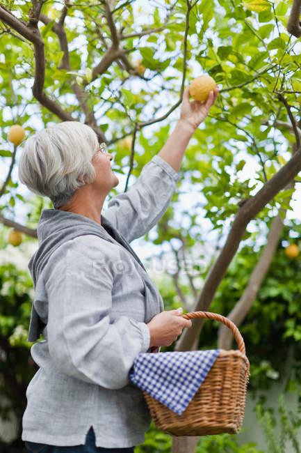 Пожилая женщина, собираюх фрукты на открытом воздухе — стоковое фото