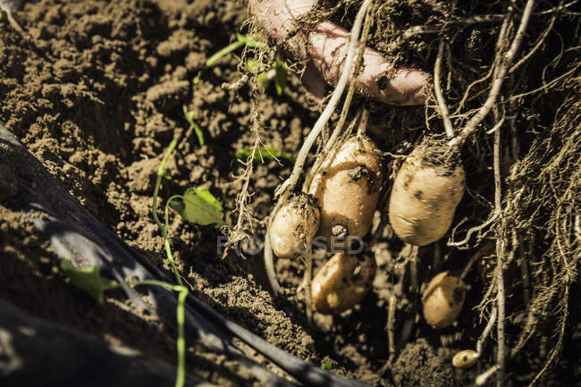 Top view of fresh vegetables on soil — Stock Photo