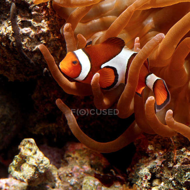 Clown fish floating in anemone — Stock Photo