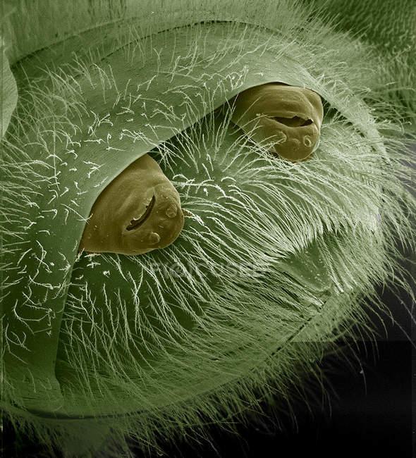 Strepsiptera que sobresale de la abeja - foto de stock