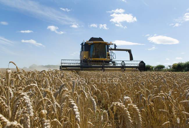 Урожайная пшеница на полях — стоковое фото