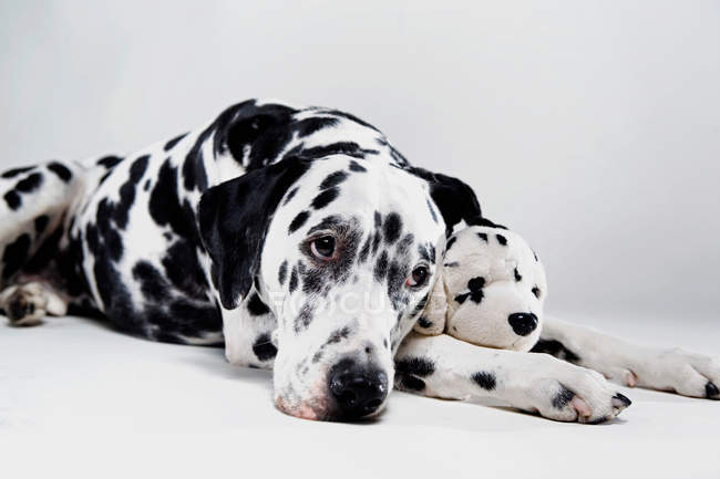 Dalmatian with stuffed toy — Stock Photo