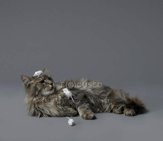 Сходження на грудях кішок і голова мишей — стокове фото
