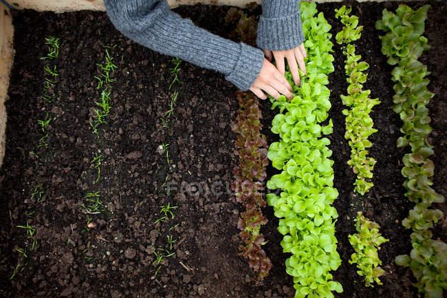 Immagine ritagliata di Ragazza adolescente piantare piantine di lattuga — Foto stock