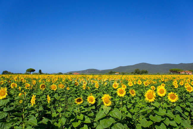 Field of sunflowers at daytime — Stock Photo