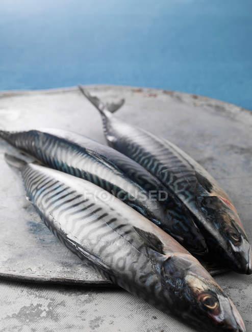 Drei frisch gefangene Makrelen — Stockfoto