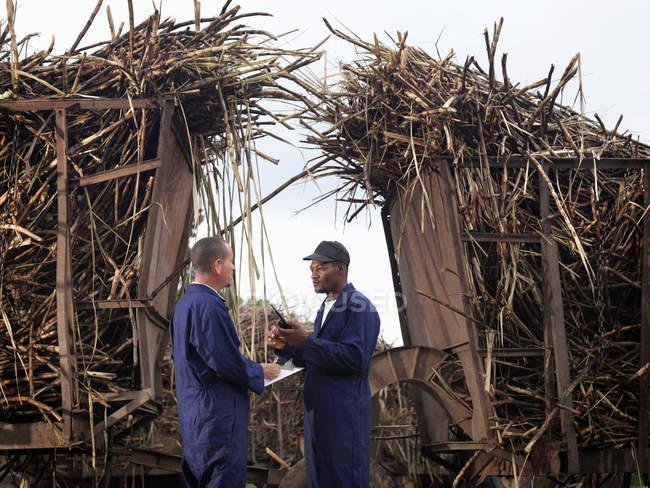 Trabalhadores com cana colhida — Fotografia de Stock