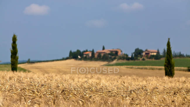 Wheat field in landscape — Stock Photo