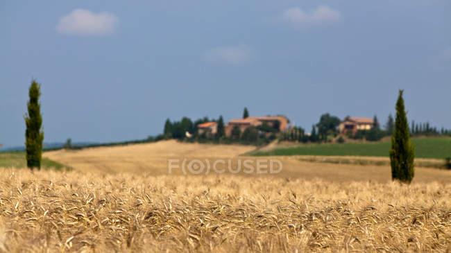 Поле пшеницы в пейзаж — стоковое фото