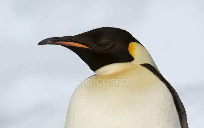 Pinguino imperatore sul lastrone di ghiaccio — Foto stock