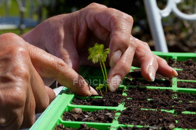 Plantas de plántulas de mujer mayor, enfoque en las manos - foto de stock