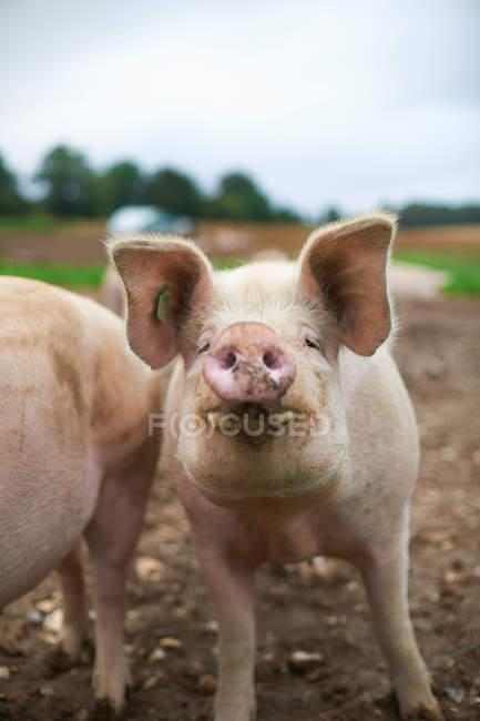 Primer plano de lindos cerdos hocico mirando a la cámara - foto de stock