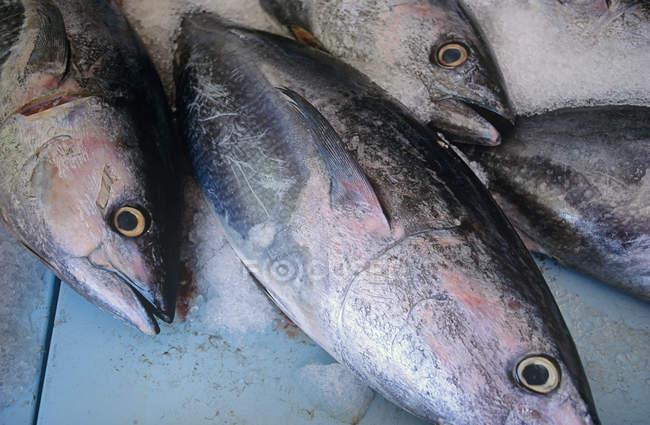 Крупным планом вид вкусный свежий сырой рыбы со льдом — стоковое фото