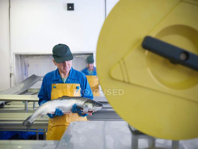 Людина перевірки рука вирощували шотландський лосось на виробничій лінії рибній фермі — стокове фото
