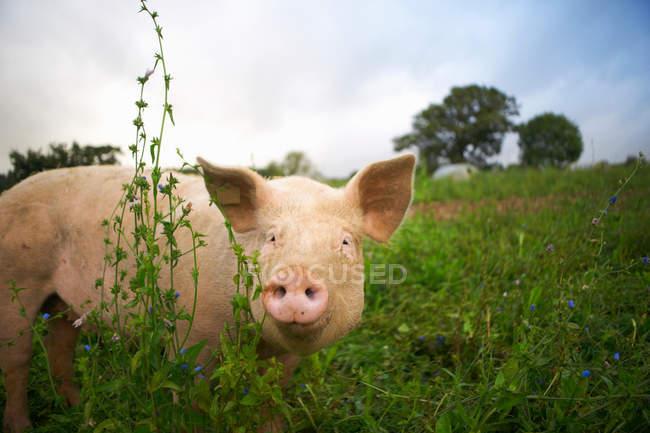 Maiale che cammina nell'erba — Foto stock