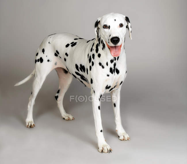 Chien dalmatien, coller la languette, studio tourné — Photo de stock