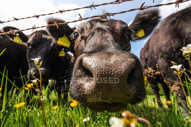 Kühe, Blick in die Kamera — Stockfoto