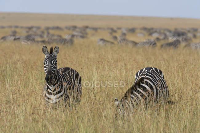 Рівнини зебр випасу на родовищі в Масаї Мара, Кенія, Африка — стокове фото