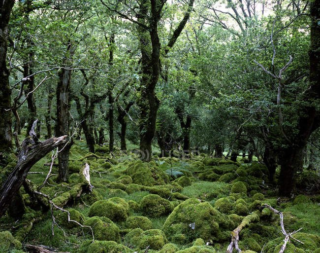 Moss covered oak trees — Stock Photo