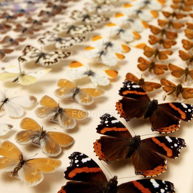 Papillons dans le boîtier des collectionneurs — Photo de stock