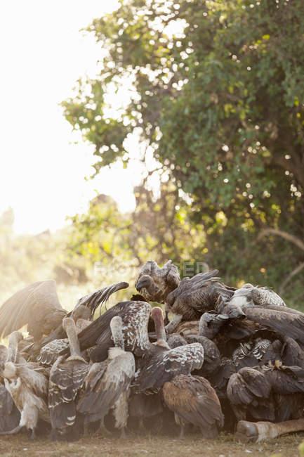Стервятники пируют на тушах жирафов — стоковое фото
