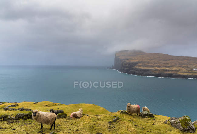 Sheep on clifftop at Faroe Islands — Stock Photo