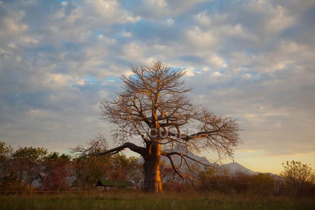 Vista da árvore de Baobab — Fotografia de Stock