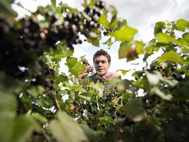 Homem, inspecionando groselhas no arbusto — Fotografia de Stock