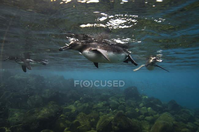 Галапагосские пингвины плавают, Галапагосские острова, Эквадор — стоковое фото